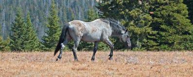 在普莱尔山野马范围的野马蓝色软羊皮的带公马在蒙大拿 免版税图库摄影