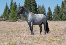 在普莱尔山野马范围的野马蓝色软羊皮的带公马在蒙大拿 库存图片