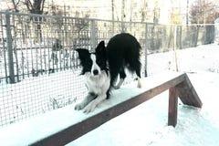 在景气的博德牧羊犬 免版税库存图片