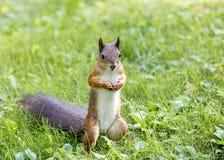 在晴天期间,小的红松鼠在绿草站立 库存照片