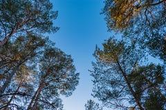 在晴朗的夏日期间,与天空蔚蓝的松树的上面在背景 库存图片