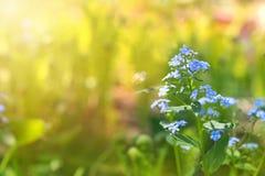 在晴朗的背景的勿忘草 精美花卉背景 复制空间 库存照片
