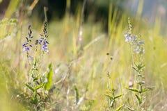 在晴朗的草甸的蓝色花Veronica多年生草本植物 库存照片