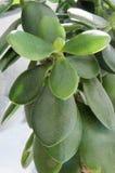 在晴朗窗口的绿色的金钱树 免版税库存图片