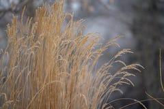 在暗灰色冬天风景的金黄草 免版税库存图片