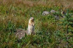 在暗藏的湖足迹,冰川全国Pa的沮丧的草原土拨鼠 库存照片