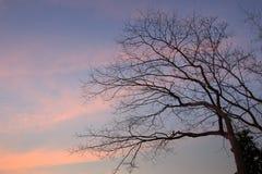 在暮色背景的分支树 免版税库存照片