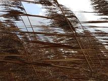 在暴风的布朗芦苇沿Hollandse IJssel在Moordrecht,荷兰 库存照片
