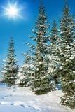 在暴风雪以后的冷杉 免版税库存照片