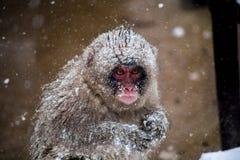 在暴风雪的一只冷的幼小雪猴子 图库摄影