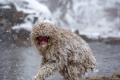 在暴风雪的幼小日本短尾猿 库存照片