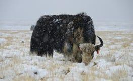 在暴风雪的牦牛 免版税库存照片