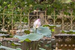 在暹粒,柬埔寨佛教寺庙的桃红色和白莲教花  Wat Damnak有水生植物的塔池塘 库存照片