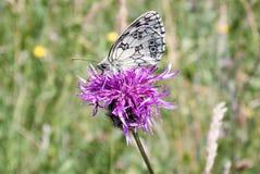 在更加伟大的黑矢车菊属花矢车菊scabiosa的使有大理石花纹的白色蝴蝶Melanargia galathea 库存照片