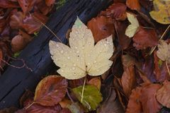 在更加黑暗的橙色叶子之间的黄色明亮的叶子在老分支附近 库存图片