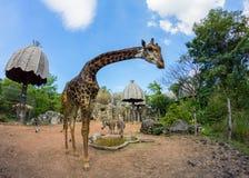 在曼谷动物园的滑稽的看的长颈鹿 图库摄影