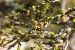 在最近架线了一棵欧洲落叶松盆景树的分支的微小的花 库存照片