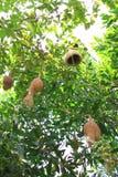 在最高的树的鸟的巢 库存图片