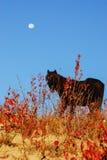 在月亮之下的马 免版税图库摄影