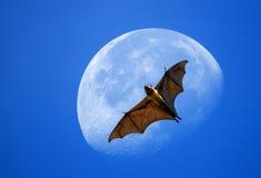 在月亮的果蝠 免版税图库摄影