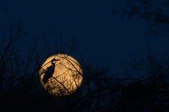 在月亮` s盾的灰色苍鹭 库存照片