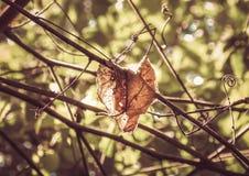 在有些枝杈中的被日光照射了腐朽的叶子 库存照片