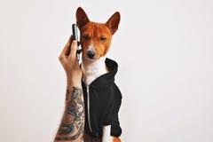 在有冠乌鸦的Basenji狗有智能手机的 免版税库存照片