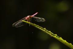 在有刺的植物叶子的由后面照的红色蜻蜓 免版税图库摄影