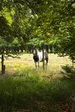 在有刺的篱芭后的马 免版税库存照片