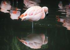 在有反射的一条腿(Phoenicopterus Chilensis)站立的桃红色智利火鸟 库存照片