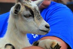 在有同情心的胳膊举行的可爱的公山羊 库存照片