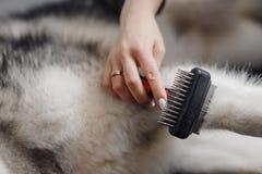 在有大牙的中梁梳子修饰动物的 库存照片