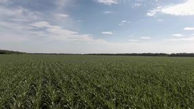 在有天空的农田里归档的甜玉米的空中飞行 影视素材