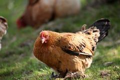 在有机农场和鸡养的母鸡 免版税图库摄影