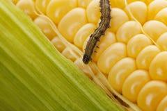 在有机玉米的蠕虫 图库摄影