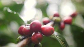 在有机种植园农场的成熟和绿色咖啡豆 巴厘岛印度尼西亚 慢动作的4K 股票视频