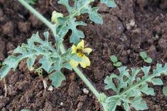 在有机eco农场的领域的蜂授粉的西瓜花 库存照片