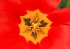 在有杵的红色郁金香开花里面在焦点 库存图片