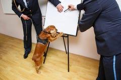在有爪子的海关药物检查的一条猎犬狗供以座位的在桌上,在两海关官员附近 库存图片