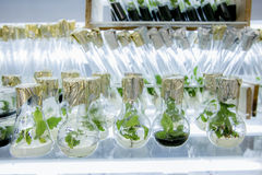 在有营养媒介的烧瓶增长的Microplants白杨树 库存图片
