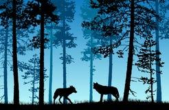 在有蓝色有薄雾的backg的一个森林里导航两头狼风景  库存照片