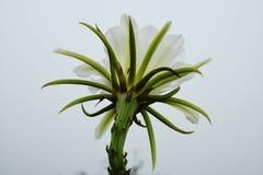 在有薄雾的天空的花在巴西山 免版税库存照片