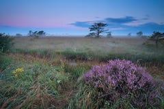 在有薄雾的日出的开花的野生石南花 图库摄影
