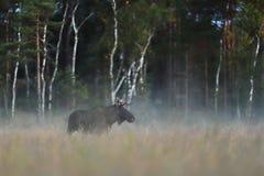 在有薄雾的沼泽的麋公牛在秋天 免版税库存照片