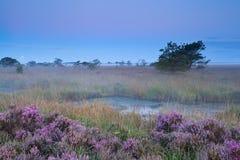 在有薄雾的清早期间,桃红色开花的石南花 图库摄影