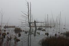 在有雾的沼泽的鹅 免版税图库摄影