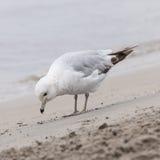 在有雾的海滩的海鸥 库存图片