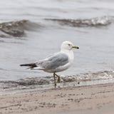 在有雾的海滩的海鸥 免版税库存图片