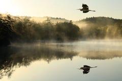 在有雾的湖的伟大蓝色的苍鹭的巢Flys在黎明 库存照片