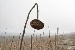 在有雾的领域的一个老向日葵 免版税图库摄影